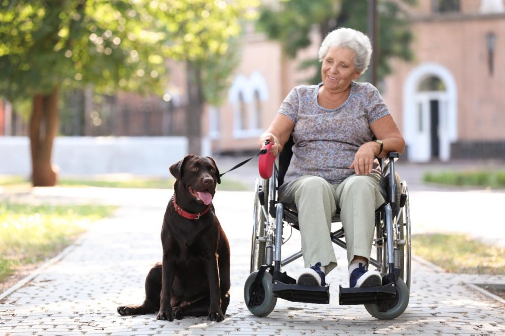 Elderly woman in a wheelchair holds the leash of a chocolate lab who sits beside her